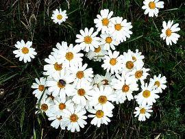 Chrysanthemum cinerariifolium270x203