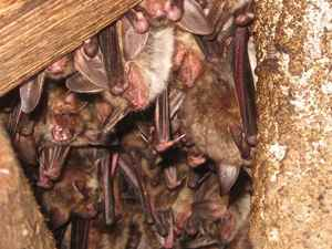 1greater_mouse_earred_bats