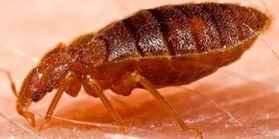 1bed_bug,