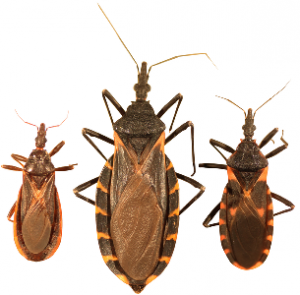 Three_species_of_kissing_bugs305x300 (3)